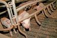 Gærceller til søer gav flere fravænnede grise