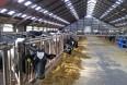 For mange uheld hos køerne