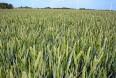 Mere gødning vil øge kornets værdi