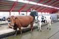 Flere krav til kvægstaldene skal opfyldes fra 1. juli 2016
