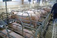 Antibiotikafrit svinekød er målet