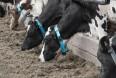 En unik metode til at identificere syge køer