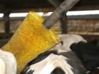 Ny børste giver øget velfærd hos køerne