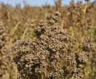 Quinoa-avlere går sammen i andelsselskab