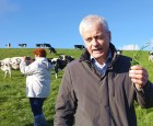 Irske køer æder grønt guld