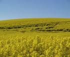 Kraftige afgrøder ændrer behovet for vækstregulering: Sådan gør du