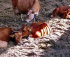 Goldperioden - blot en ferie for koen?