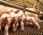 Hygiejnekursus for svinehåndtering