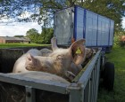 Ny viden om hvad der kan belaste søer under transport til slagtning