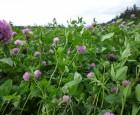 Økologiske planteavlere skal bide i kløvergræsset