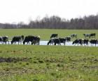 Så mange har køerne på græs