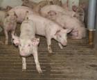 Ny viden om haleskader og smerter hos grise