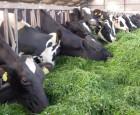 Hvis dine køer kunne vælge frit