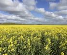 Økologisk vinterraps i vækst