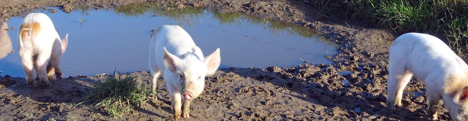 Svineproducent i spidsen for økologerne