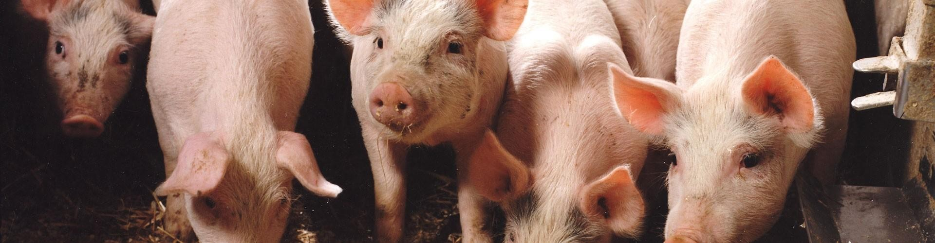 Mikrofloraen i trynen hos grisemed åndedrætsbesvær