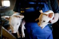 Hollandske landmænd bruger mindre antibiotika