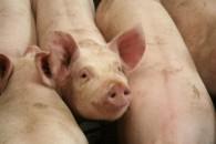 Antibiotika-frit svinekød fra Holland