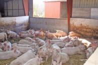 Årsager til at grisen hoster