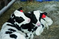 Tvillingekalve uden genetisk bånd