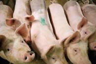 Fortsat lav antibiotikaresistens hos svenske dyr
