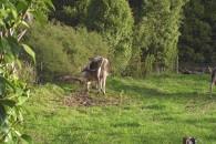 Koen aborterede på grund af giftige træer