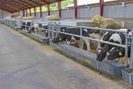 Kalvene vil stjæle hinandens mælk