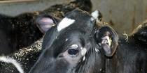 Kalve slap for genstridig ringorm