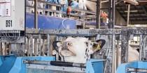 Mastitiskøer oplever ubehag ved malkning