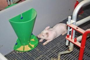 Sådan fodrer du dig til den bedste gris ved fravænning
