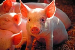 Ny antibiotikabehandling til svin slår bakterierne ihjel ved en enkelt injektion