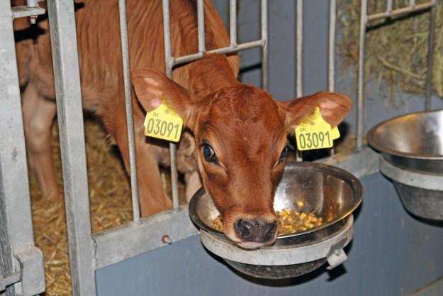 Pasningen af kalvene er særlig udfordrende i de kolde måneder, hvor kalven nemt kan komme til at fryse. Derfor er det særlig vigtigt at holde fokus på det. Foto: Arkivfoto.