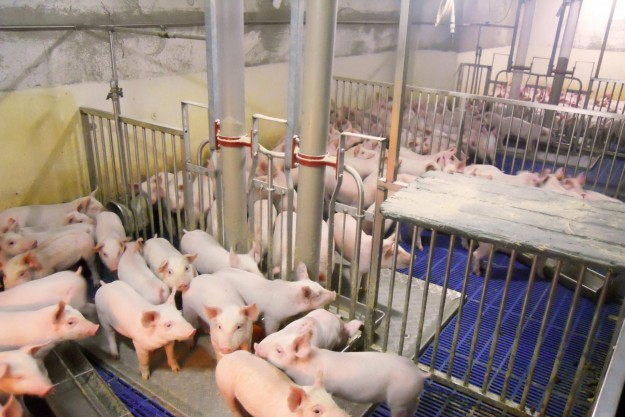 Nyfravænnede grise i klimastalden.