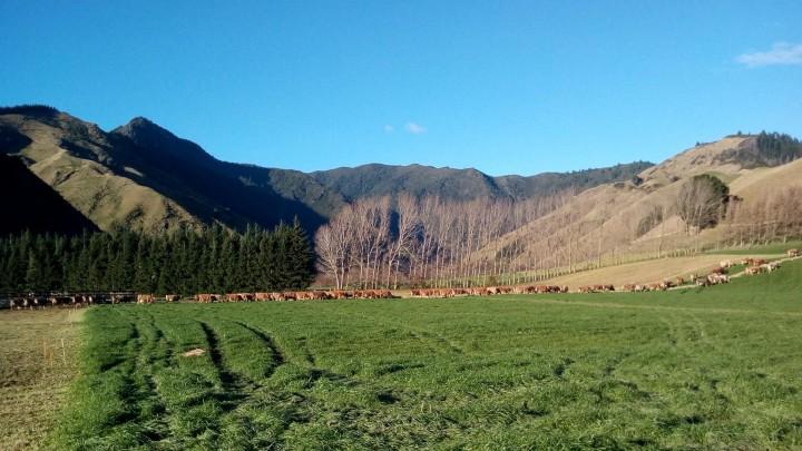 Nyt fra New Zealand: 500.000 køer står til nedslagtning