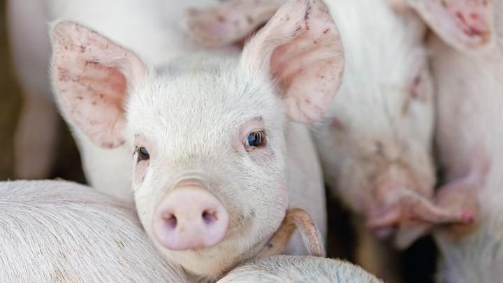 Britiske svineproducenter byder Brexit velkommen