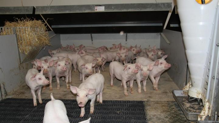 Drivning af svin fører ofte til ulykker