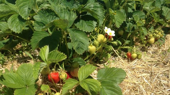 Økologiske jordbærmarker klarer sig bedst i kampen mod skadedyr