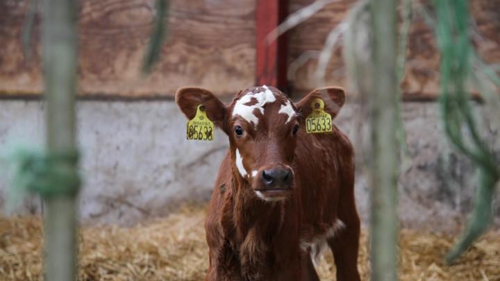 Kan man tjene på, at ko og kalv går mere sammen?