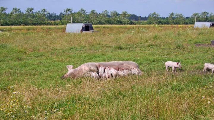 Produktionsdyr er blevet til mad på to og fire ben