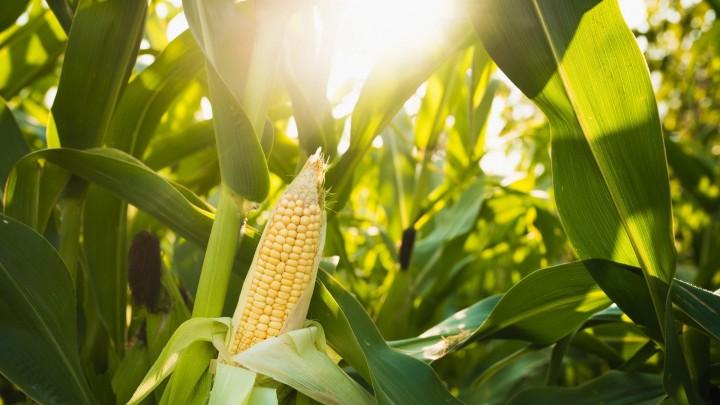 Fem skarpe om GMO, GMO-frit foder og mælken
