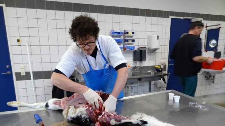 Syv til otte procent af kalvene dør i utide