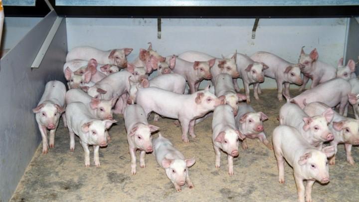 Alarmerende mængder tungmetaller i næsten al jerntilskud til grise